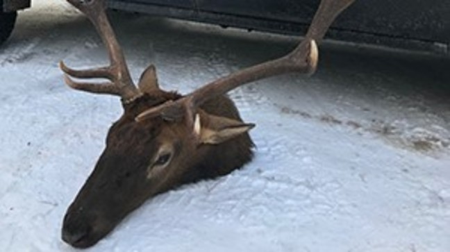 1 000 Reward Being Offered For Information In Northern Michigan Elk Poaching Wpbn