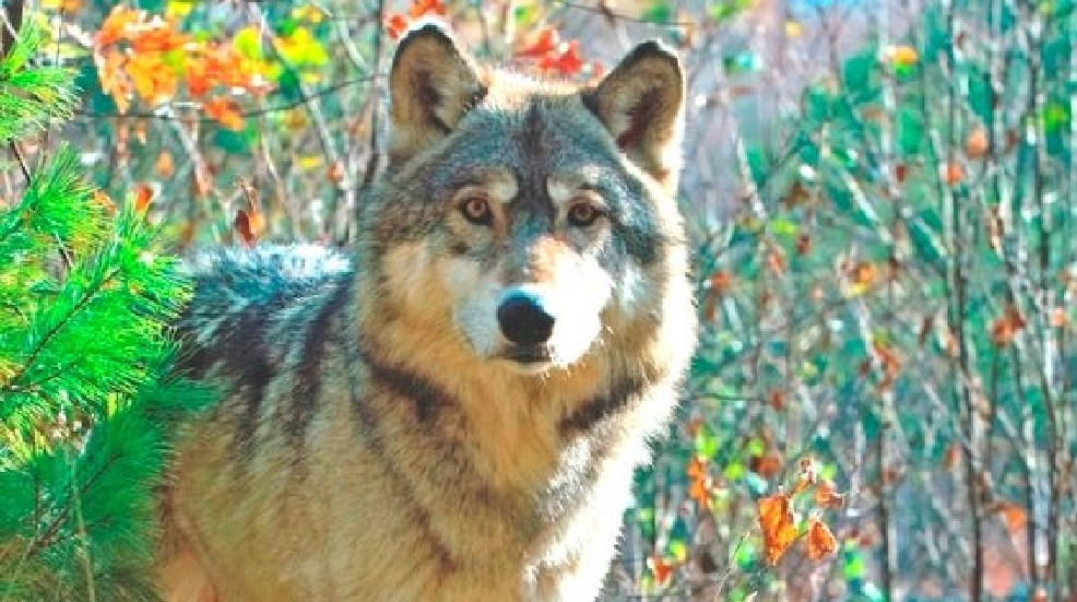 DNR offers reward for information in wolf poaching case   WPBN