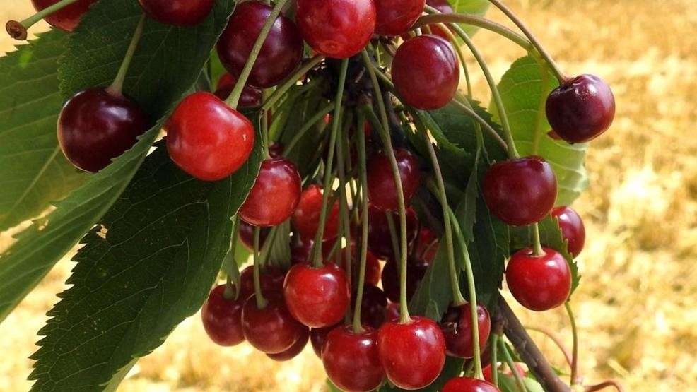 Federal government to purchase additional $15m tart cherries | WPBN